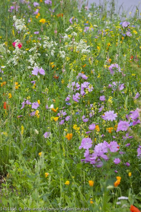 Wildflower meadow by roadside, Eschscholzia californica, malva, Silene vulgaris