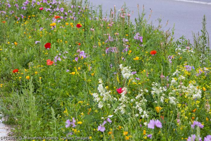 Wildflower meadow by roadside, Eschscholzia californica, malva, Silene vulgaris, Papaver rhoeas