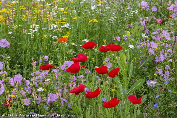 Wildflower meadow by roadside, Papaver rhoeas, Malva moschata, Linum perenne