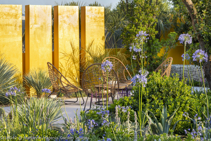 Agapanthus 'Blue Storm', yellow painted wall, chairs on stone terrace, Pittosporum tobira 'Nanum', agave