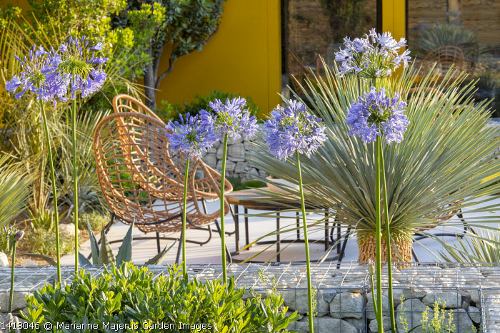 Stone-filled gabion wall, Agapanthus 'Blue Storm', yellow painted wall, Yucca rostrata 'Blue Swan', chairs on stone terrace