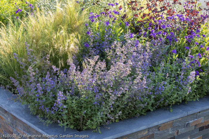 Nepeta, Verbena rigida and Stipa tenuissima in stone raised bed