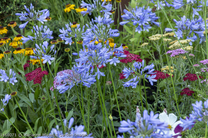 Helenium 'The Bishop', Achillea 'Credo' and 'Summerwine', Agapanthus 'Peter Pan'