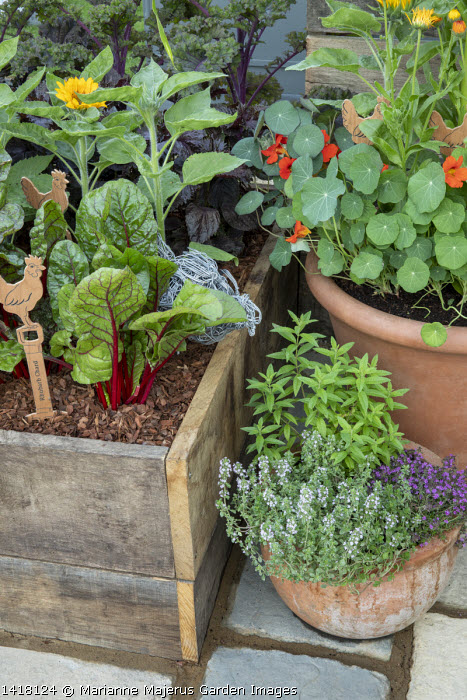 Rhubarb chard in wooden raised bed, herbs and nasturtiums in pots, thyme, wooden label