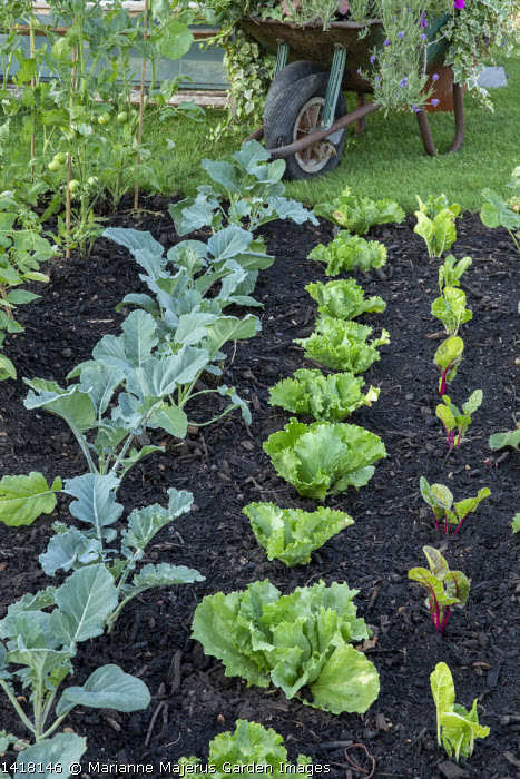 Rows of broccoli, lettuces and Swiss chard in allotment border