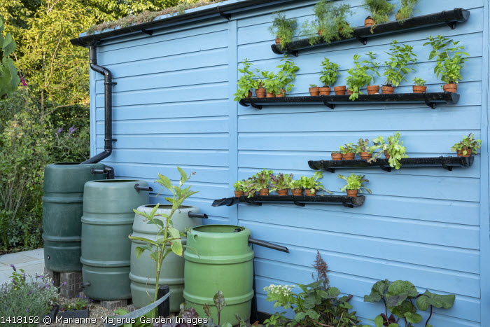 Row of water butts against blue painted shed, water harvesting, lettuces and herbs in pots on staggered guttering