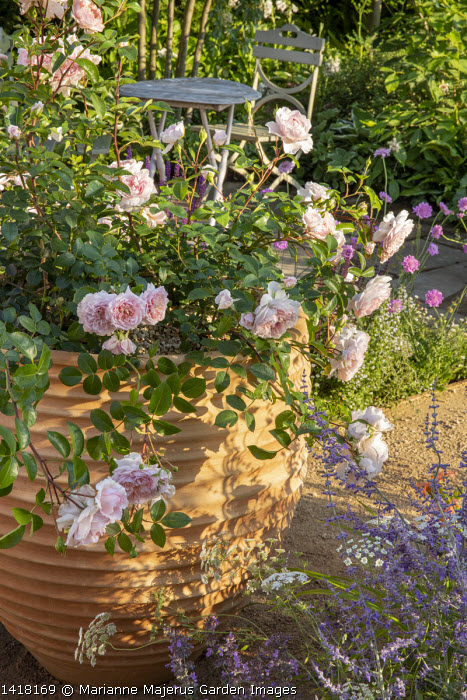 Rosa 'Wildeve' in large terracotta container