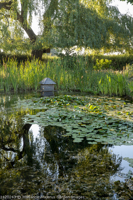 Wildlife pond with water lilies