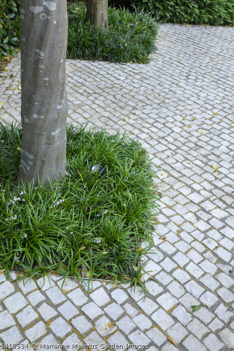 Ophiopogon planiscapus around base of tree in stone sett patio