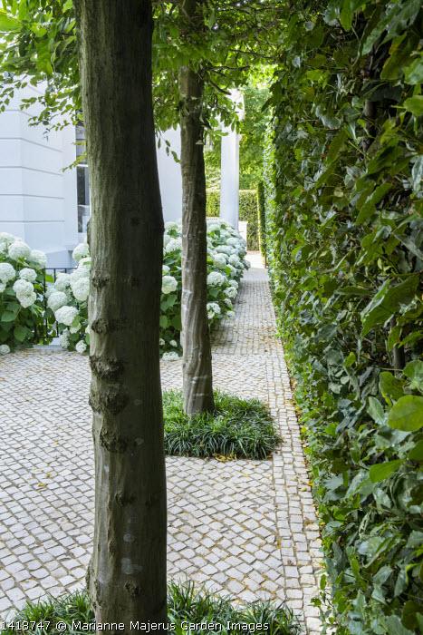 Ophiopogon planiscapus around base of hornbeam trees in stone sett patio