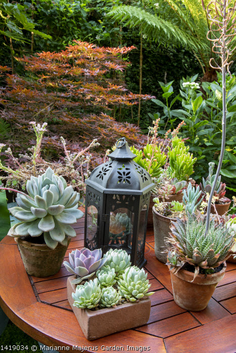 Collection of succulents in pots on table, hosta, Acer palmatum