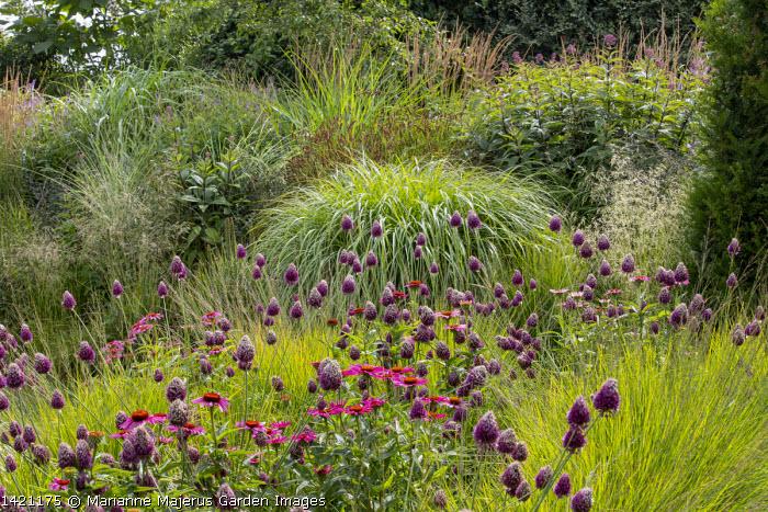 Allium sphaerocephalon, Echinacea purpurea 'Fatal Attraction', Molinia caerulea subsp. caerulea 'Heidebraut', Miscanthus sinensis 'Yakushima Dwarf'