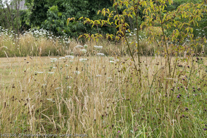 Acer davidii 'Serpentine' and umbellifers in long grass meadow