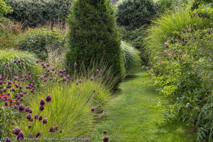 Grass path, Allium sphaerocephalon, Echinacea purpurea 'Fatal Attraction', Taxus baccata, Sanguisorba caucasica, Molinia caerulea subsp. caerulea 'Heidebraut'