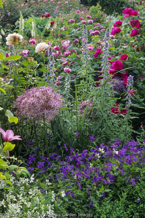 Rosa gallica var. officinalis, echium, Allium cristophii, Viola cornuta