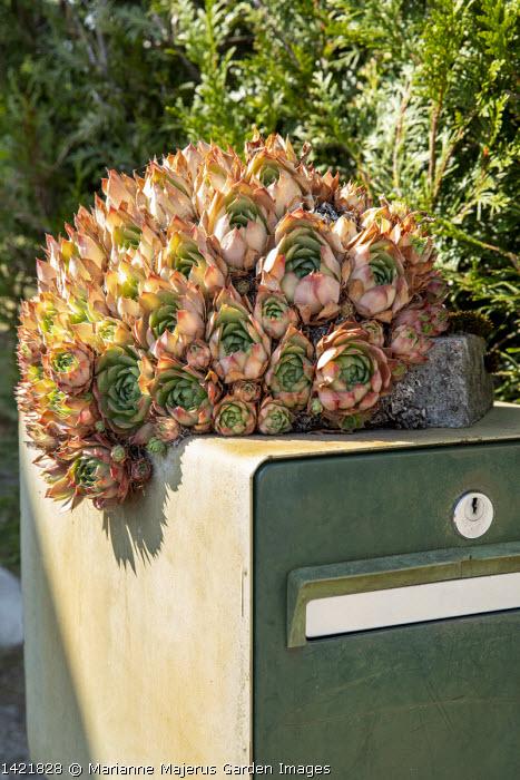 Sempervivum on letterbox