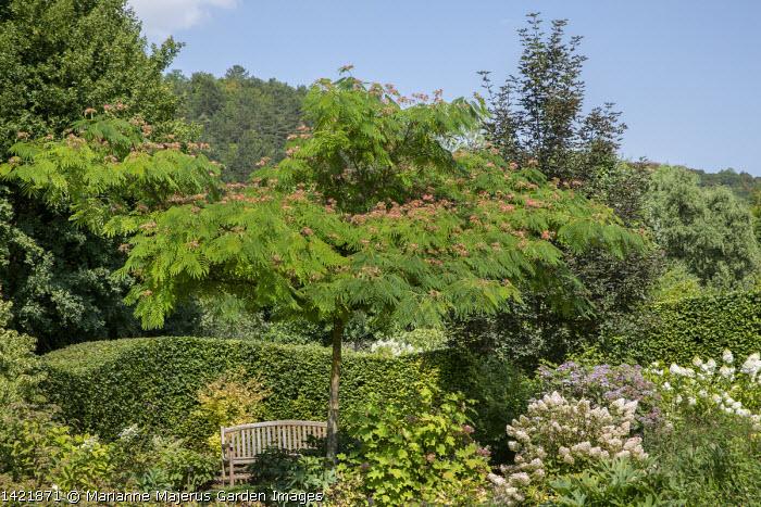Albizia julibrissin f. rosea, wooden bench, hydrangea
