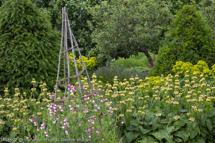 Gravel path in kitchen garden, Phlomis russeliana, Sweet peas climbing through willow wigwam, Taxus baccata