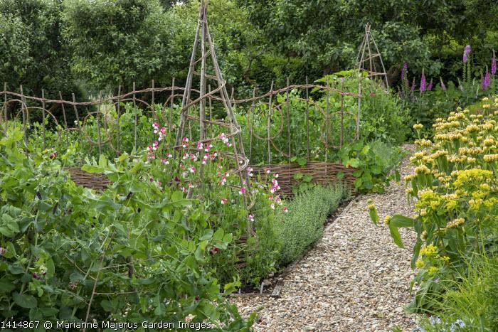 Gravel path in kitchen garden, Phlomis russeliana, Sweet peas climbing through willow wigwam, Pisum sativum 'Rondo'