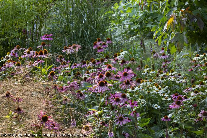 Echinacea purpurea, Panicum virgatum 'Rehbraun'