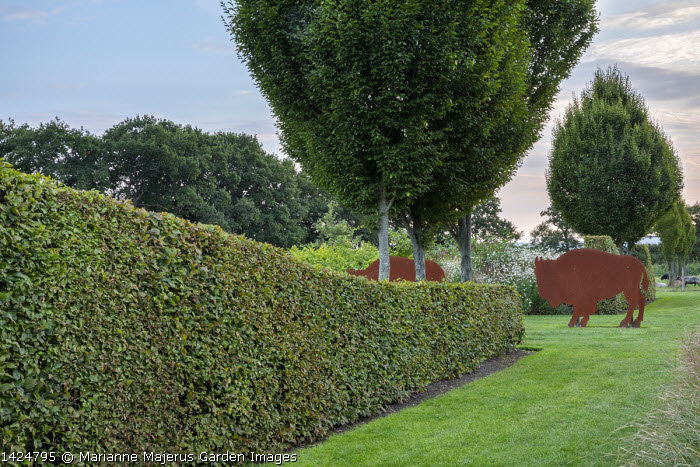 Clipped hornbeam hedge, Carpinus betulus 'Fastigiata', Cor-Ten steel buffalo