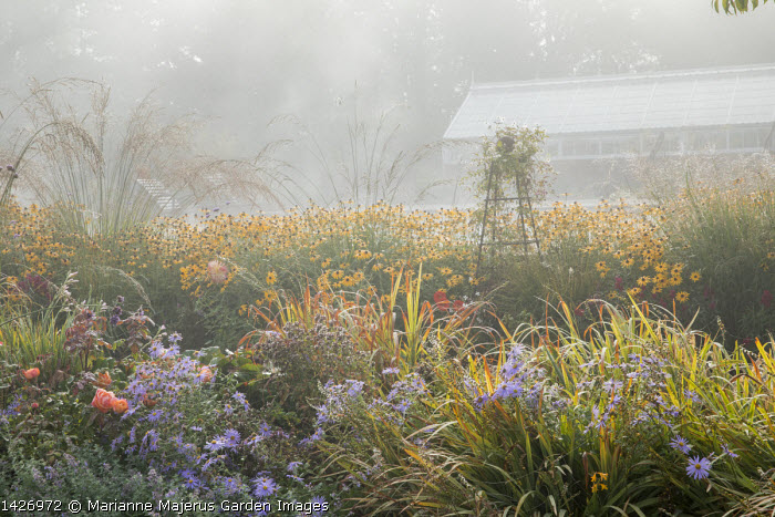 Aster, Rudbeckia fulgida var. sullivantii 'Goldsturm', Molinia caerulea subsp. arundinacea 'Transparent', Rosa 'Lady Emma Hamilton', view to greenhouse in mist