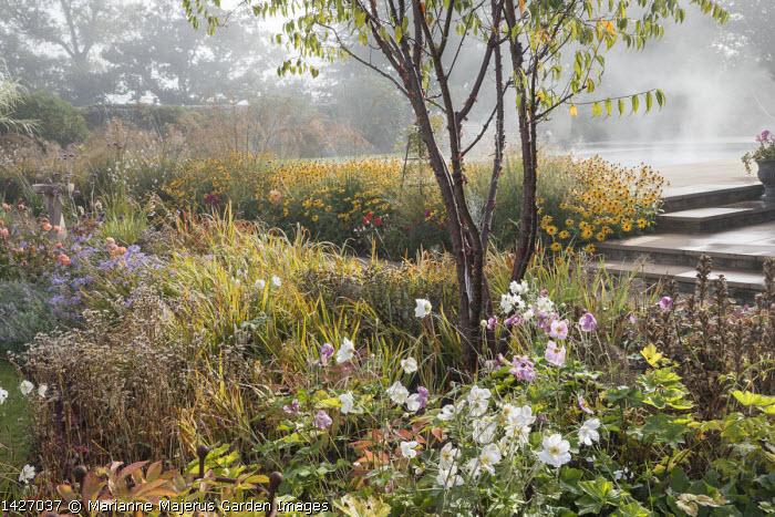Prunus serrula, Anemone x hybrida 'Honorine Jobert', acanthus seedheads,  Anemone x hybrida 'September Charm', Rosa 'Queen of Sweden', Rudbeckia fulgida var. sullivantii 'Goldsturm', Molinia caerulea subsp. arundinacea 'Transparent'