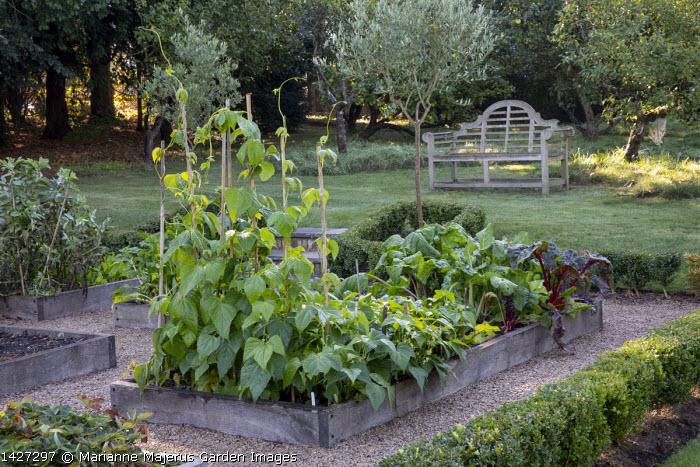 Runner beans and Swiss chard in wooden edged border in kitchen garden, Olea europaea, Lutyens bench