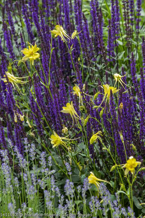 Salvia nemorosa 'Caradonna', Aquilegia chrysantha, Lavandula angustifolia 'Munstead'