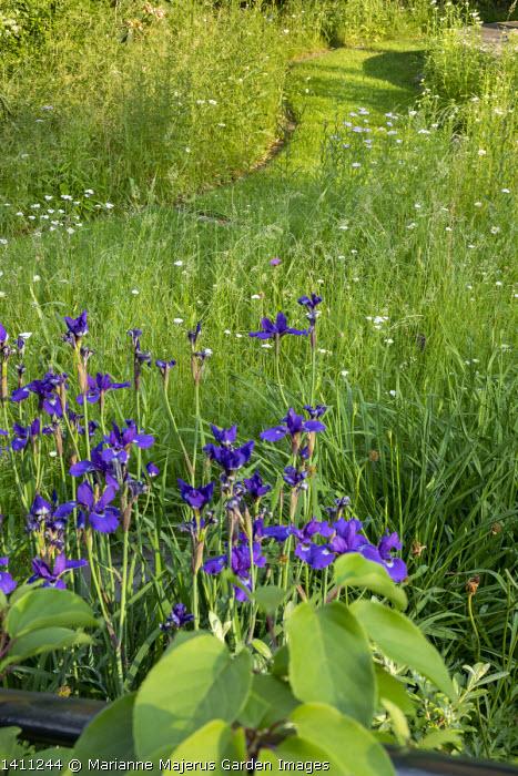 Iris sibirica and Achillea millefolium in meadow