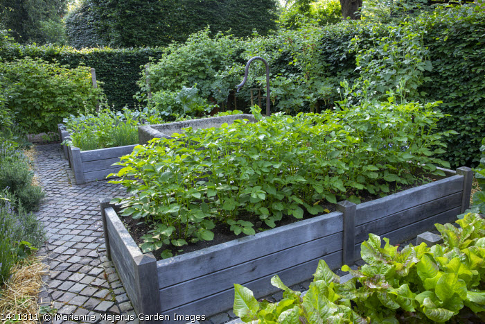 Potatoes, rocket and chives in raised beds, large stone trough fountain, redcurrant, raspberries