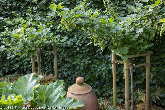 Standard trained redcurrant and gooseberry shrubs in wooden supports against beech hedge, terracotta rhubarb forcer