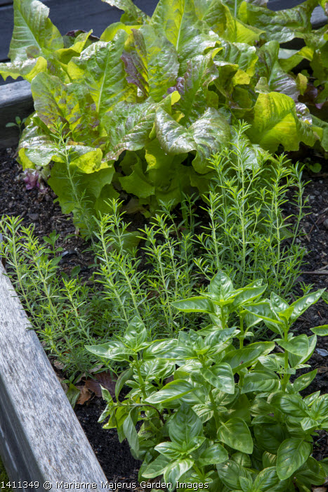 Basil and lettuce in timber raised bed
