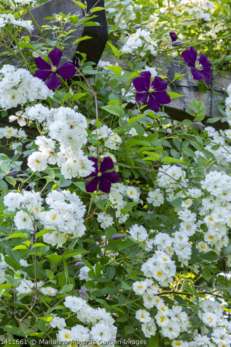 Rosa 'Guirlande d'Amour' and Clematis viticella 'Etoile Violette' climbing on pergola