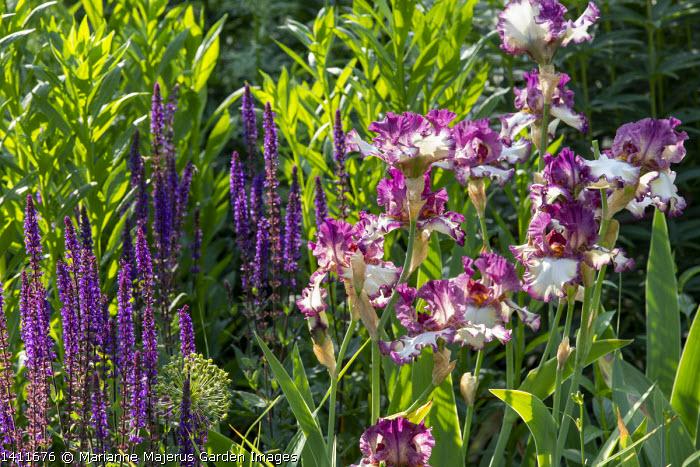 Salvia nemorosa 'Caradonna', Iris 'Sing a Song'