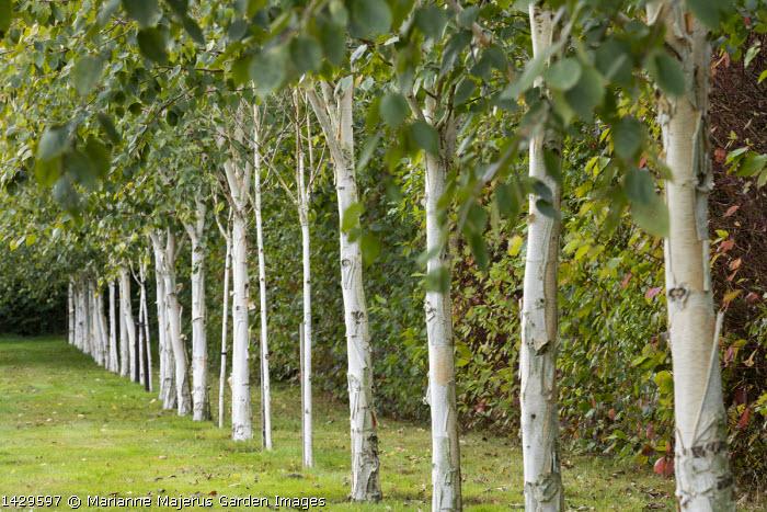 Row of Betula utilis var. jacquemontii