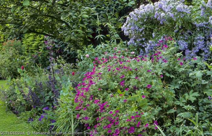 Border beneath apple tree, Geranium psilostemon, Campanula lactiflora, poppies