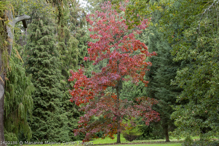 Quercus pagoda in conifer tree glade