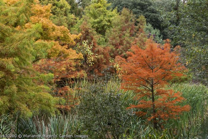 Taxodium distichum in bog garden