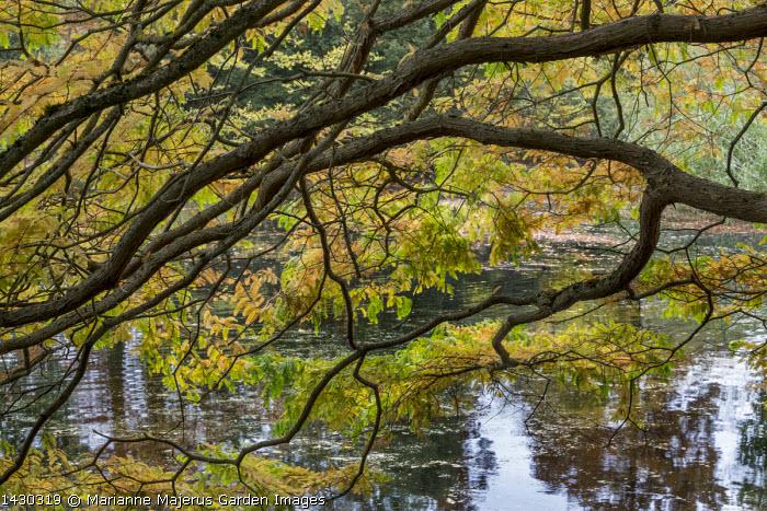 Metasequoia glyptostroboides over pond