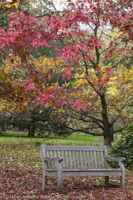 Quercus coccinea, wooden bench