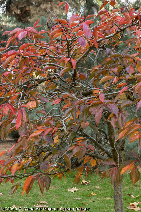 Prunus lannesiana 'Matsumae Sarasa'