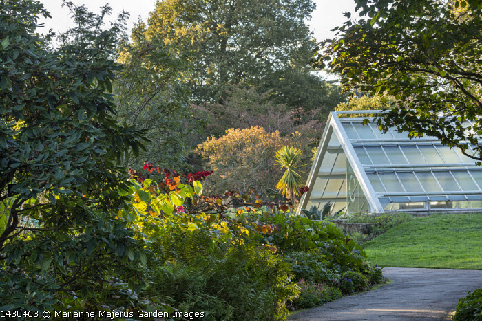Cercis canadensis 'Forest Pansy', path leading to Princess of Wales Conservatory, ferns