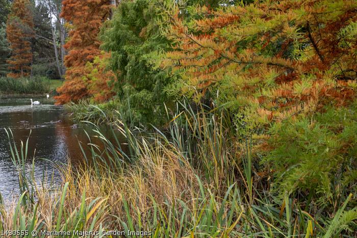 Pondside conifers