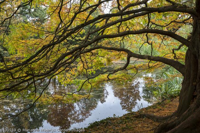 Metasequoia glyptostroboides, reflections in pond