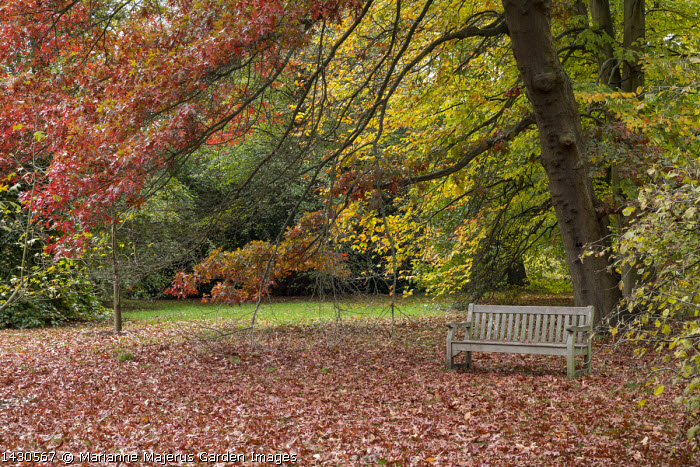 Wooden bench under Quercus coccinea and Fagus orientalis