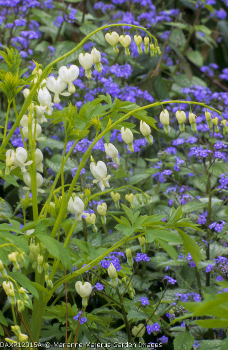 Lamprocapnos spectabilis 'Alba' syn. Dicentra spectabilis 'Alba', Brunnera macrophylla 'Jack Frost'