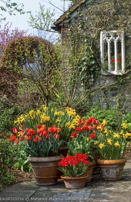 Tulipa 'Lapin Ruska', Tulipa 'Prinses Irene', Tulipa linifolia, Narcissus 'Peeping Tom' in terracotta containers, mirror on wall