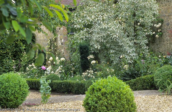 Gravel area, clipped box balls, white border with roses, Elaeagnus 'Quicksilver', box edging