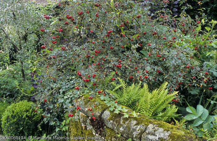 Moss covered wall, Rosa glauca hips, ferns